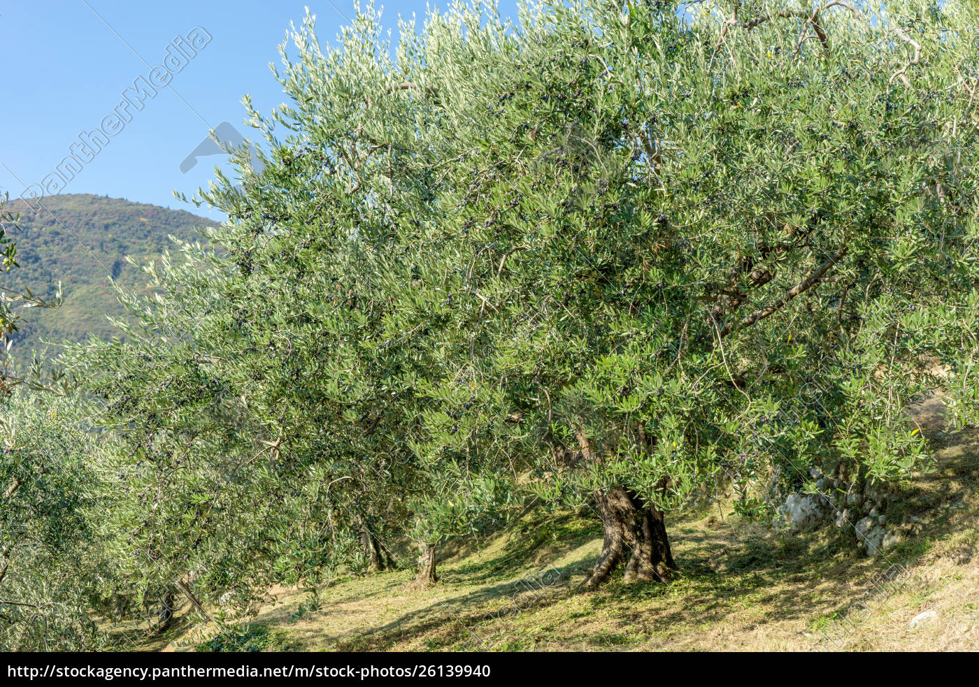 old, olive, trees, in, italy, - 26139940