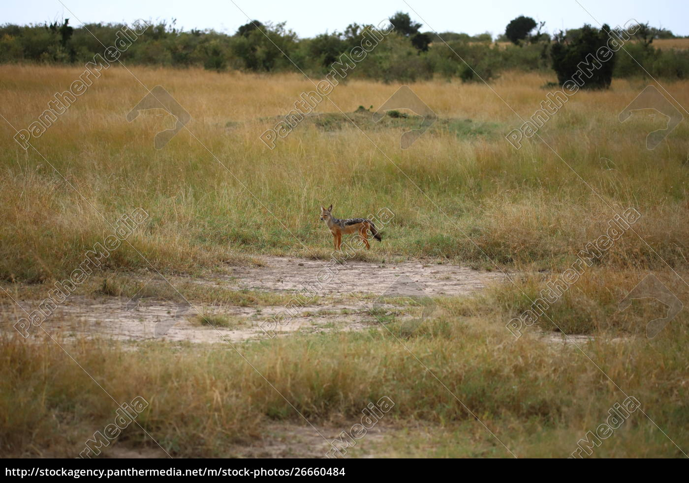 chacal, de, costas, pretas, no, masai - 26660484