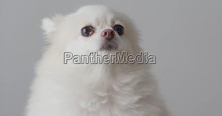 cao pomerania branco