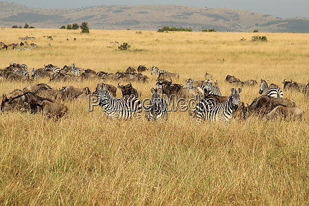 zebras and gnus on a common