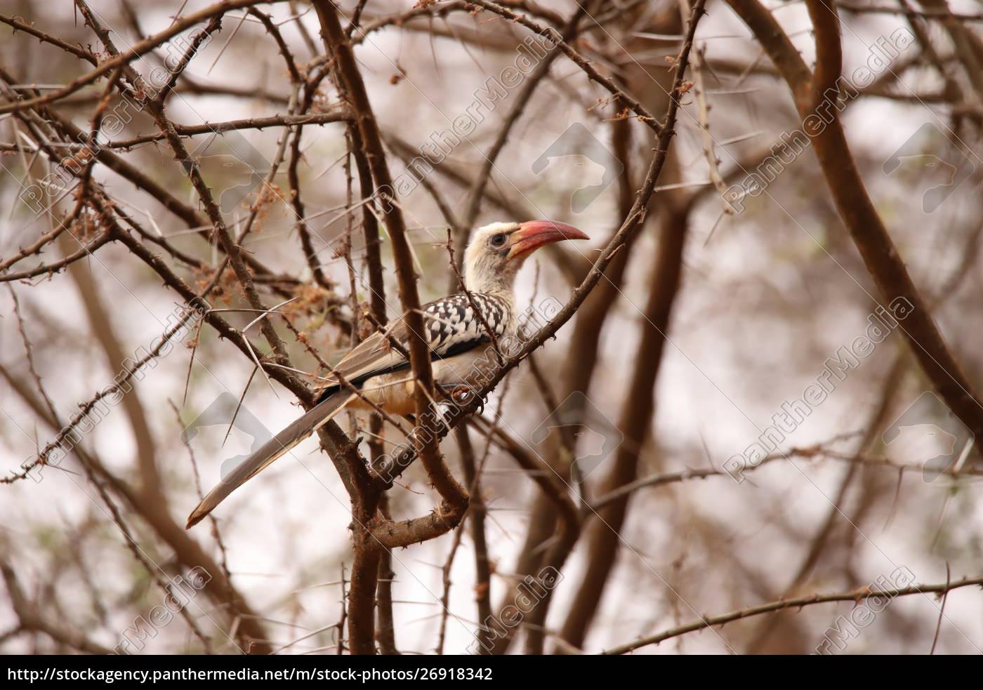 hornbill, de, bico, vermelho, em, um - 26918342
