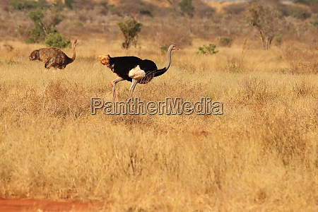 somali ostrich pair in the savanna