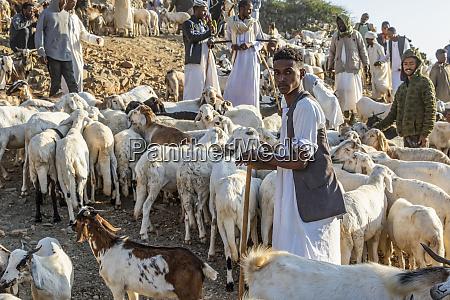 pastores eritrean com cabras e carneiros