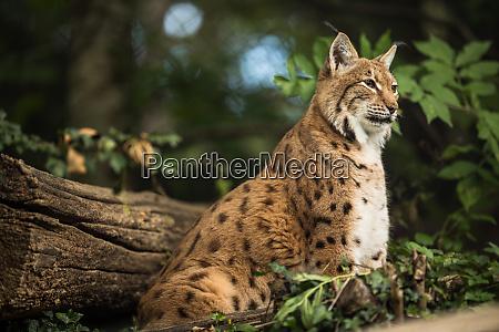lince eurasiana lynx lynx