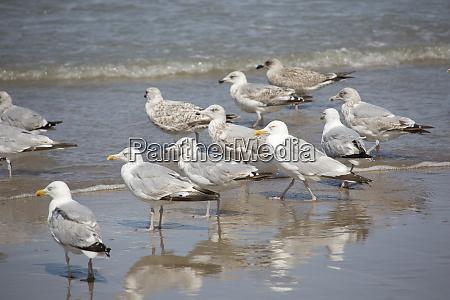 gaivota de arenque europeia argentatus do