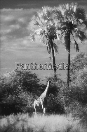 botswana, girafa, (giraffa, camelopardalis) - 27325241