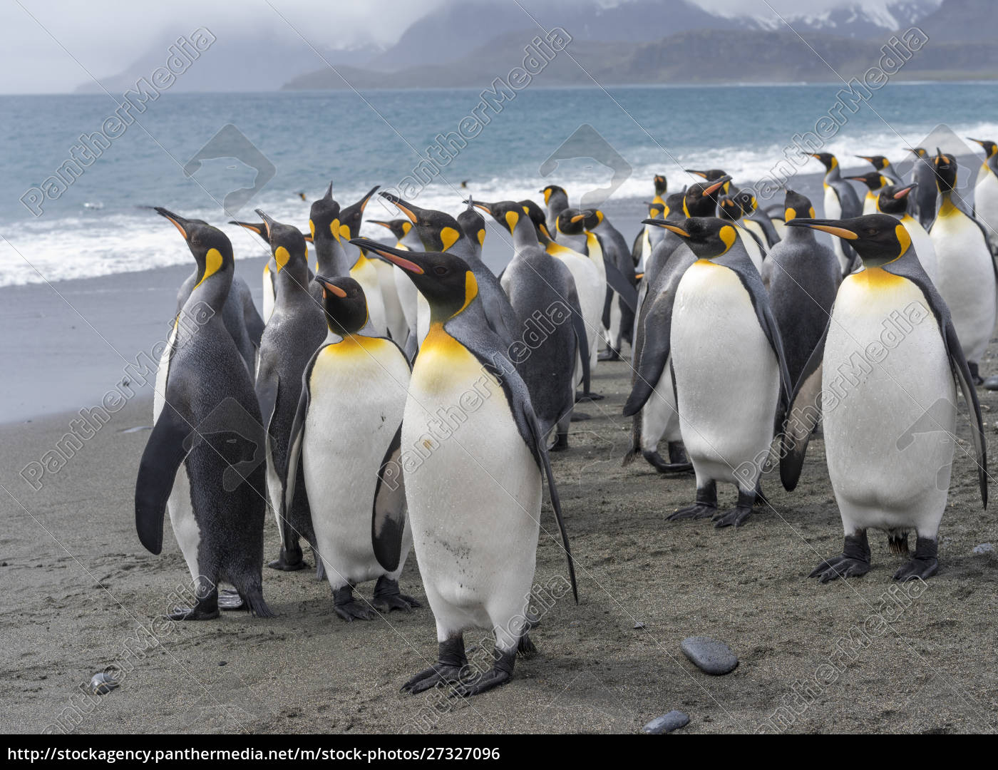 king, penguin, (aptenodytes, patagonicus), na, ilha - 27327096