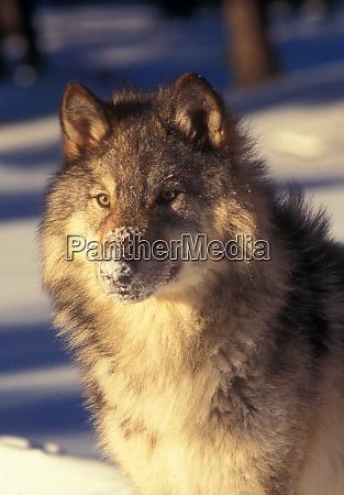 lobo cinzento na neve