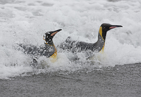 king penguins aptenodytes patagonicus in surf