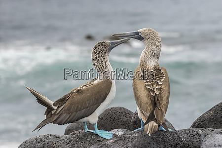 ecuador galapagos national park blue footed
