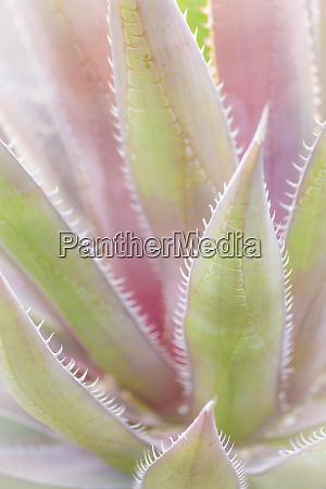 mexico san miguel de allende yucca