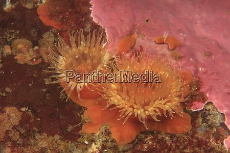 plumose sea anemones metridium senilesaint lazerius