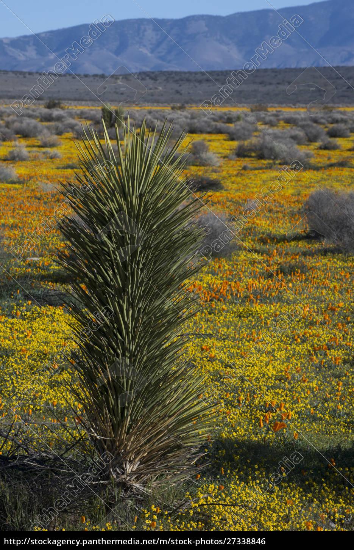 usa, , california., joshua, trees, (yucca, brevifolia) - 27338846