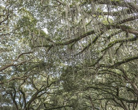 beautiful southern live oak canopy quercus