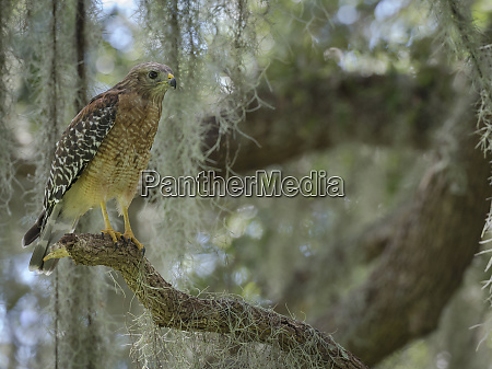 red shouldered hawk buteo lineatus perched