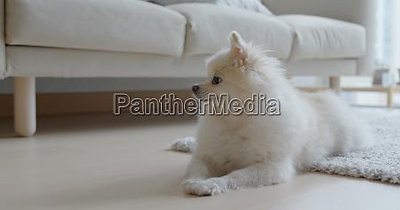 cachorro pomerania branco em casa