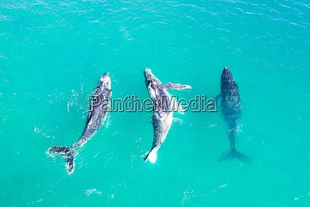 vista aerea de tres baleias nadando