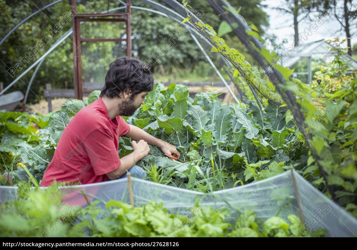 jardineiro, colhendo, brócolis, em, horta, orgânica - 27628126