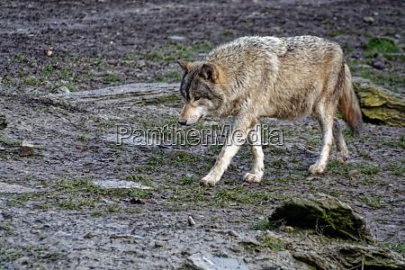 lobo de madeira
