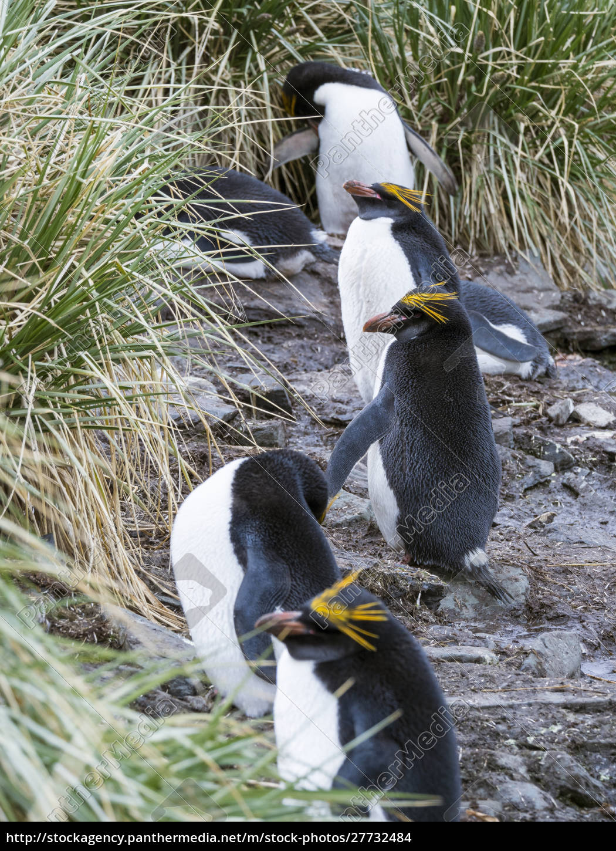 pinguim, do, macarrão, (crisolophus, de, eudyptes) - 27732484