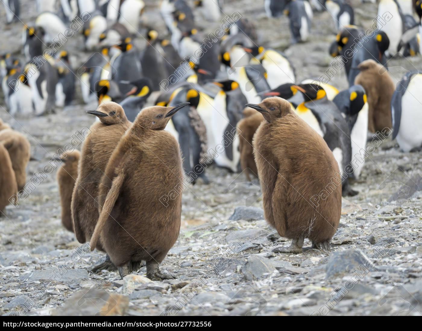 pinguim, do, rei, (patagonicus, de, aptenodytes) - 27732556