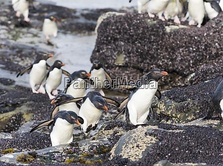 pinguins, rockhopper, (eudyptes, chrysocome), pinguins, na - 27889314