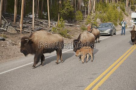 parque nacional yellowstone wyoming eua bisao