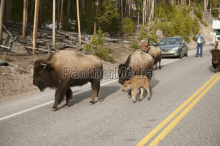parque nacional yellowstone wyoming bisao andando