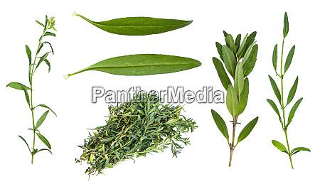 conjunto de folhas frescas de herb