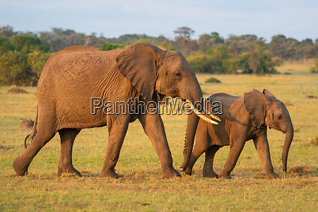elefante africano e bezerro caminham pela