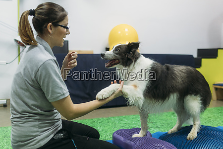 fisioterapeuta feminina treinando border collie em