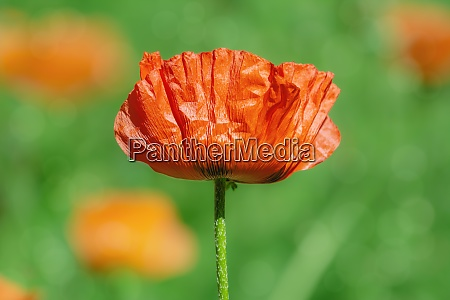 flor de flor de papoula