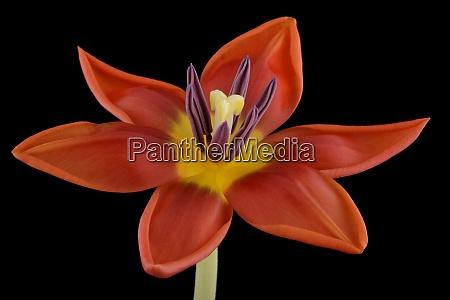 tulipa vermelha na frente do fundo