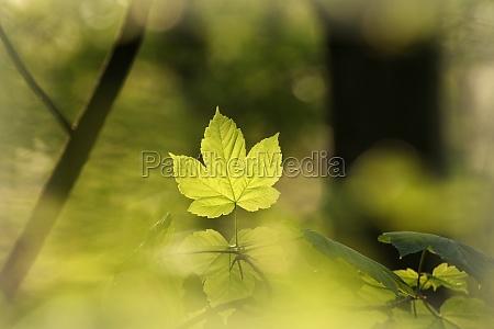 folhas de bordo de primavera