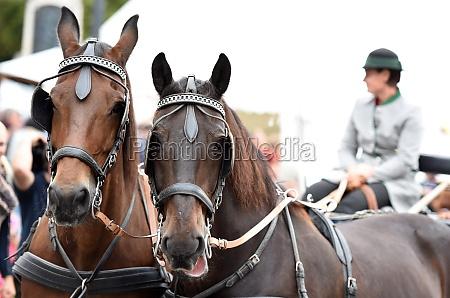 ein, pferdegespann, beim, bauernmarkt, em, mondsee, Österreich, europa - 29766821