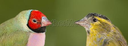 pássaro, bonito, com, rosto, vermelho, olhando - 29778474