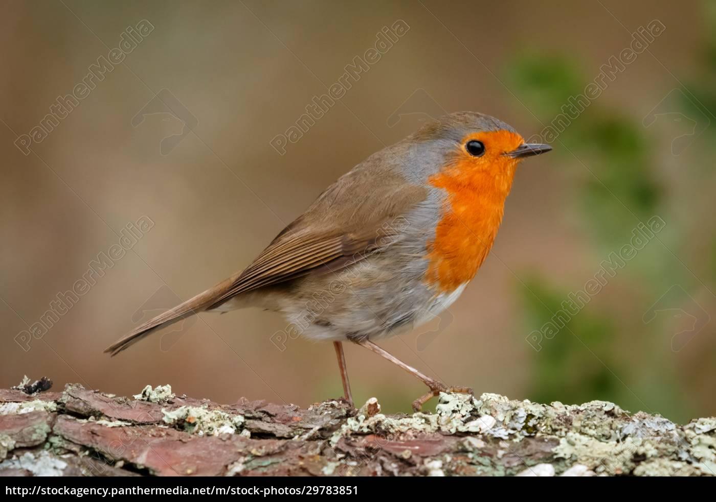 pássaro, bonito, com, uma, bela, plumagem - 29783851