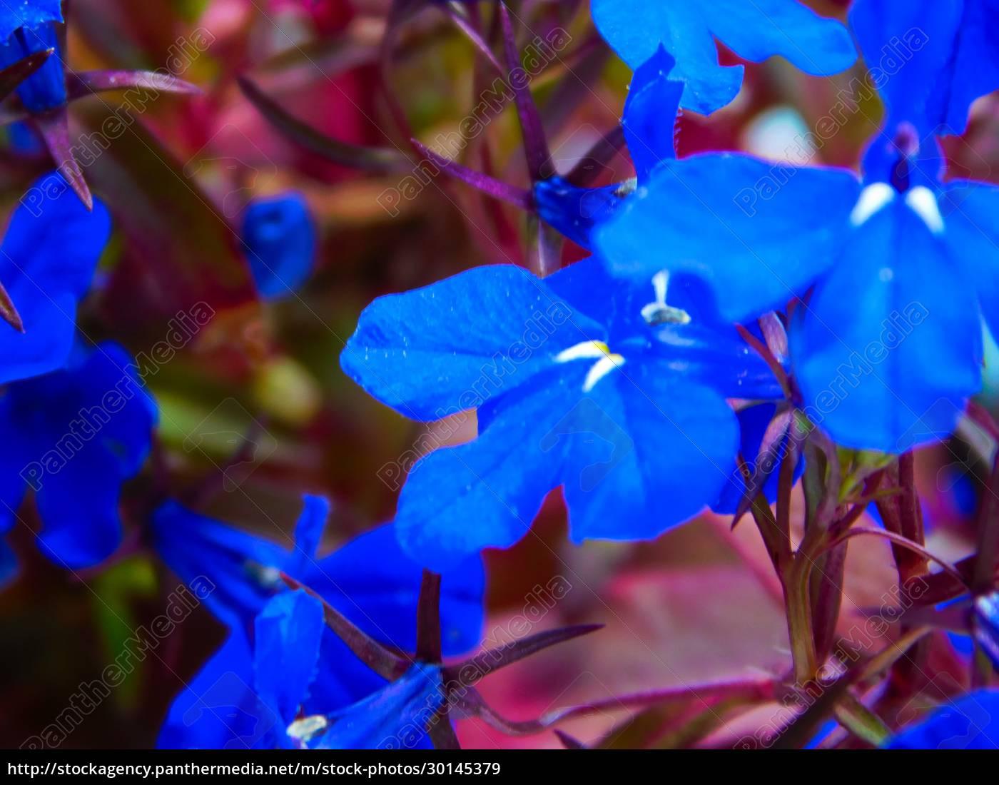 also, called, blue, lobelia, , true, to - 30145379