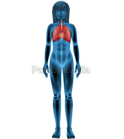 human, respiratory, system - 30268956