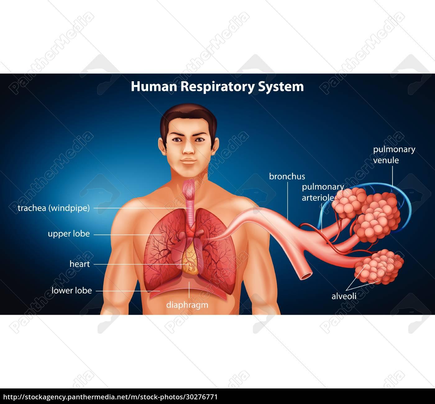 human, respiratory, system - 30276771
